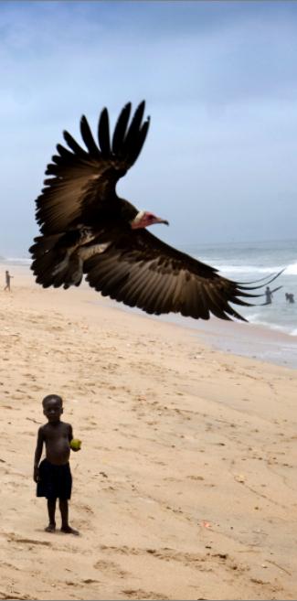 GHANA Elmina: Small boy and a large vulture on the beach. Sven Torfinn/Panos