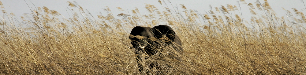 ZAMBIA: An elephant roams the dried grasslands of Bangweulu swamps. Kieran Dodds / Panos