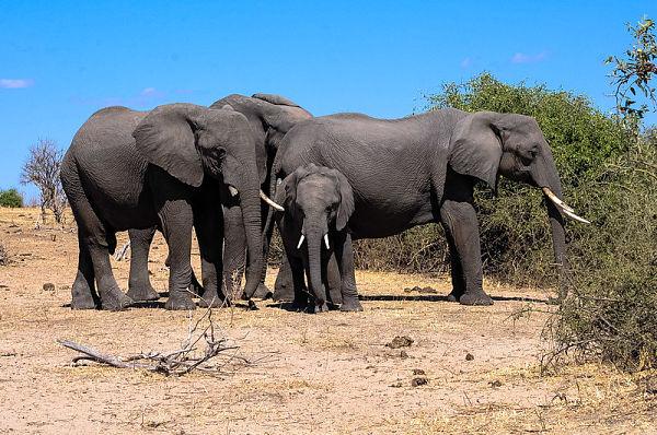 Elephants in Chobe National Park. Pic: Letizia Barbi (CC BY-SA 2.0)